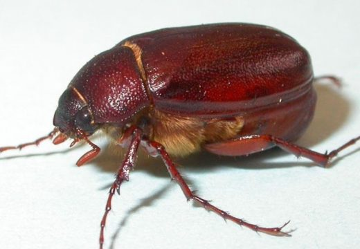 June bugs live up to name