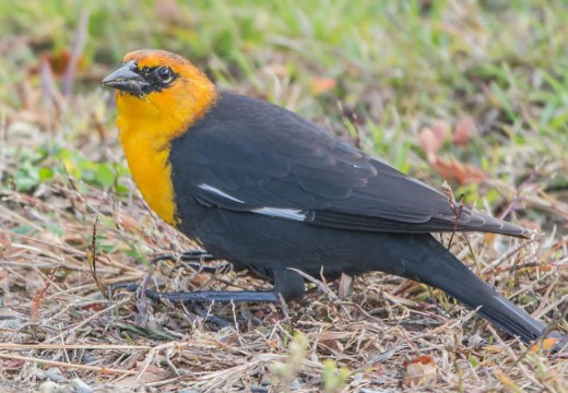 Rare yellow-headed blackbird visits MDI