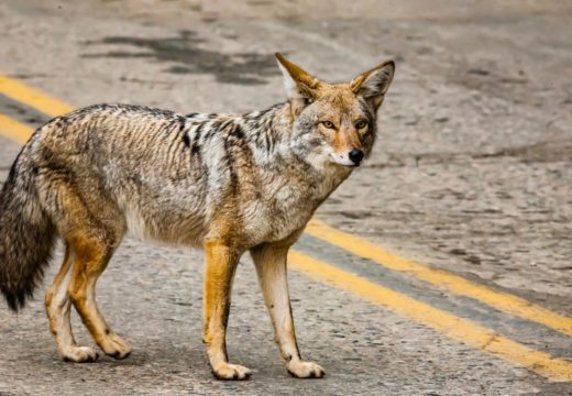Island Police: Officers respond to report of wily coyote on MainStreet